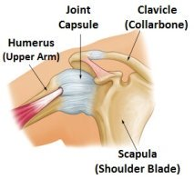 Anatomy of a normal shoulder showing the joint capsule