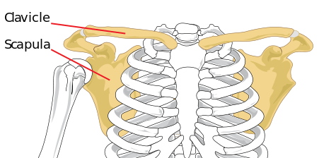 Shoulder girdle anatomy showing the clavicle and scapula