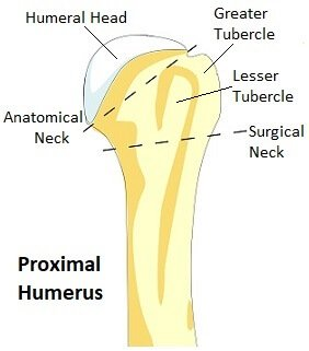 Anatomy of the Proximal Humerus