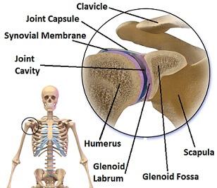 Diagrama que muestra la anatomía de la articulación glenohumeral, incluido el labrum gelnoideo, que actúa para profundizar la articulación y mejorar la estabilidad del hombro